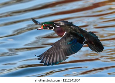A Wood Duck Spreads it's Wings as it Lands in a Colorado Lake.