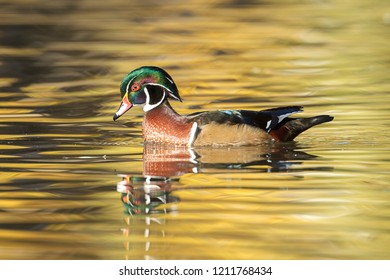 A wood duck swims on the calm pond in autumn at Cannon Hill Park in Spokane, Washington.