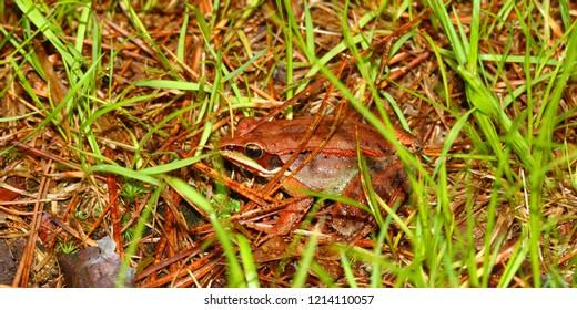 Wood Frog (Rana sylvatica) in the northwoods of Wisconsin