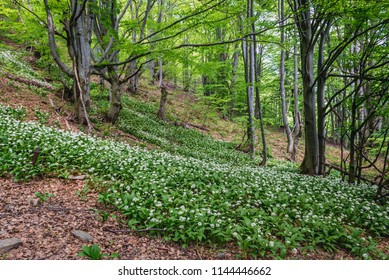 Wood Garlic plants on a slope near Wetlina mountain pastures in Bieszczady National Park, Poland