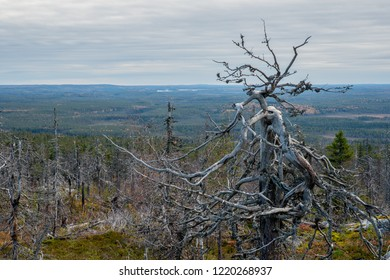 Wood goblin in the wasteland on the top of the mountain.  Russia. Karelia. Vottovaara mountain after the wildfire.