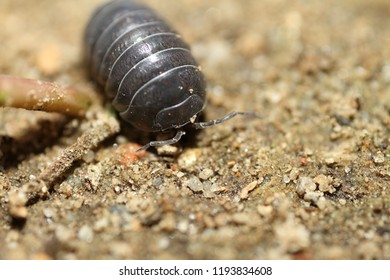 wood louse on the front yard