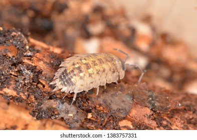 Wood louse, Porcellio spinicornis in nature