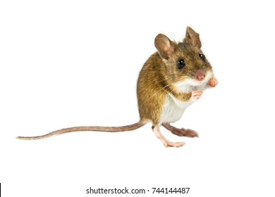 Wood mouse (Apodemus sylvaticus) with cute brown eyes standing and about to jump on white background