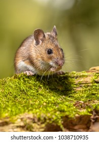 Wood Mouse (Apodemus sylvaticus) on mossy log with green background