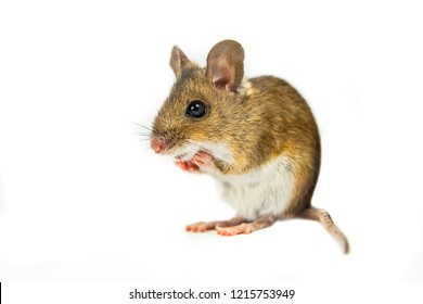 Wood mouse (Apodemus sylvaticus) standing in begging position on white background
