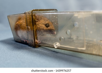 A wood mouse or field mouse captured in a humane live capture no kill mouse trap