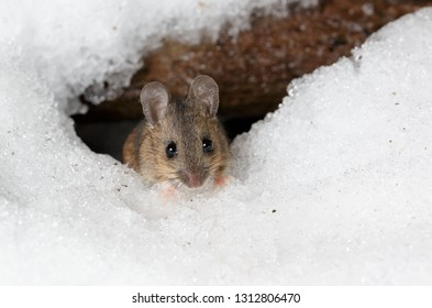 Wood Mouse on Snow