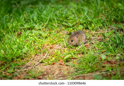 A wood mouse scouraging for food in Brede high wood east Sussex in May