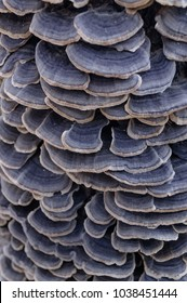 A lot of Wood mushrooms. Blue mushrooms on a tree. Macro. The mushroom habits and hats are close up. Mushrooms with a purple hue. Fungal growth. The tree is filled with mushrooms
