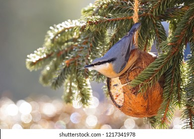Wood Nuthatch bird on bird feeder in coconut Shell suet treats with Bokeh background. Winter food made of fat, sunflower seeds (Sitta europaea)