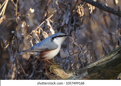 Wood nuthatch (Sitta europaea) sits on a log against the background of a dry grass (sun reflect in eye).