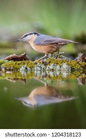 The Wood Nuthatch, Sitta europaea is sitting at the waterhole in the forest, reflecting on the surface, preparing for the bath, colorful backgound with some flower