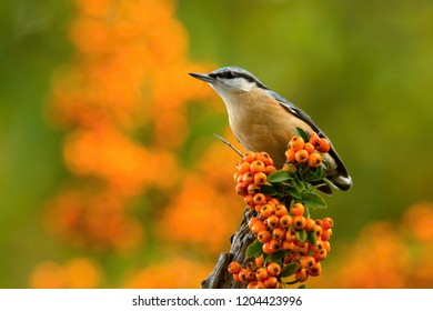 The Wood Nuthatch, Sitta europaea is sitting on the branch in the forest, colorful backgound with some flower