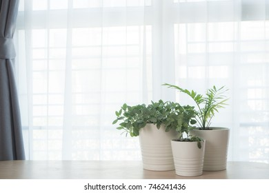 Wood office table with Group of garden tree on pot  and  white curtain texture background. View from front table.