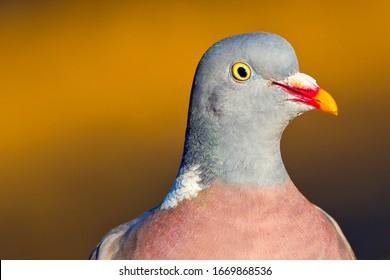 Wood Pigeon close up portrait in Castilla y León Spain Europe