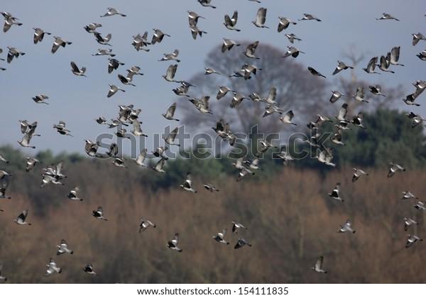 Wood pigeon, Columba palumbus, large flock in flight in winter, Shropshire 2009