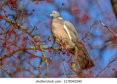 Wood pigeon (Columba palumbus) lookng while feeding on berries. Many resident birds forage on berry trees to survive winter.