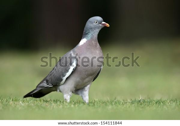 Wood pigeon, Columba palumbus, Norfolk, July 2009