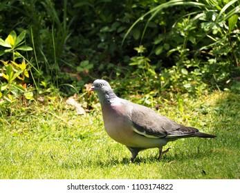 Wood pigeon, Columba palumbus, on a grass lawn in a garden