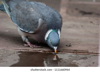 Wood Pigeon (Columba palumbus) on ground drinking water from a puddle