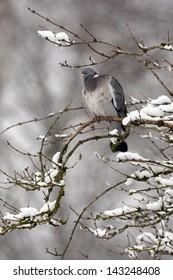 Wood pigeon, Columba palumbus, single bird sitting on snow covered branch, Gloucestershire, UK, January 2010
