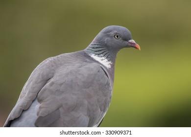 Wood pigeon, Columba palumbus, sitting, close up