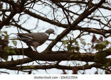 A Wood Pigeon (Columba palumbus) walking along a tree branch