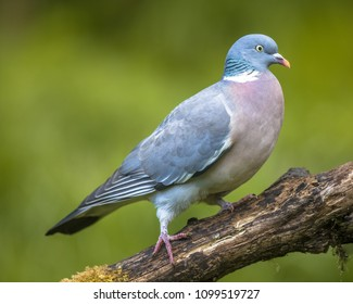 Wood pigeon (Columba palumbus) walking on branch with blurred green background