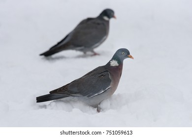 Wood pigeon in January on a snowy day