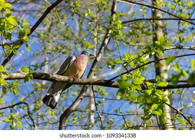 Wood pigeon sitting on a branch with fresh green leaves