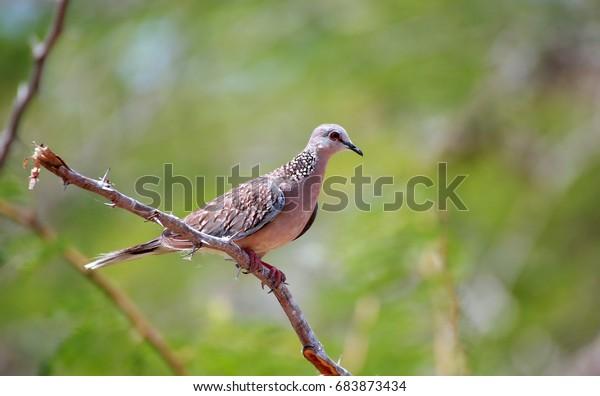 Wood Pigeon Sri Lanka Stock Photo Edit Now 683873434