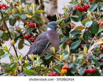 Wood pigeon, turtledove eating red seeds in a cotoneaster tree