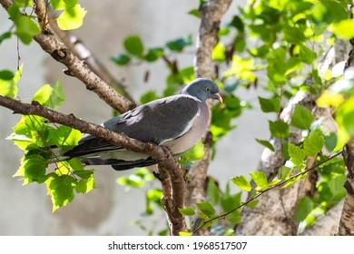 Wood pigeon, turtledove sleeping in a birch tree