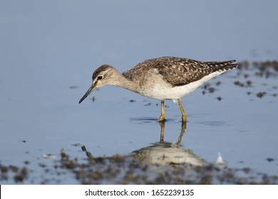 The wood sandpiper is a small wader. This Eurasian species is the smallest of the shanks, which are mid-sized long-legged waders of the family Scolopacidae.