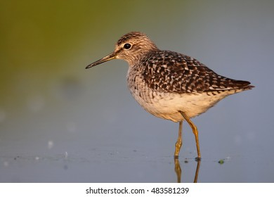 Wood Sandpiper, Tringa glareola, isolated small wader in water, mirroring sky. Close up photo of migrating bird. Autumn, Europe, Czech republic.
