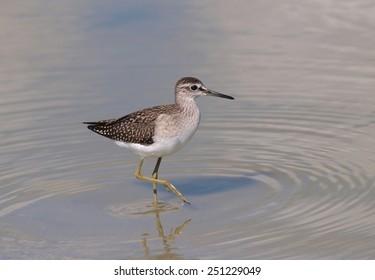Wood Sandpiper (Tringa glareola) on a pond