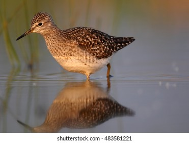 Wood Sandpiper, Tringa glareola, small wader in shallow water amog vegetation, mirroring itself in water surface, close up view from water level. Migrating bird. Autumn, Europe, Czech republic.