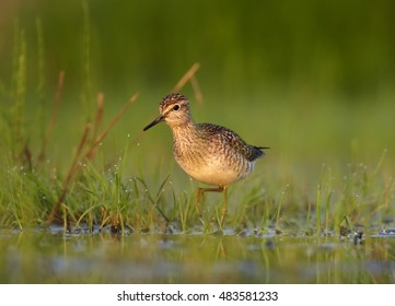 Wood Sandpiper, Tringa glareola, small wader in shallow water amog vegetation direct view from water level. Migrating bird. Autumn, Europe, Czech republic.