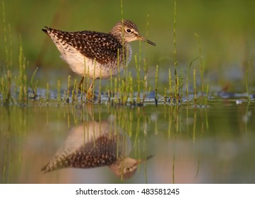 Wood Sandpiper, Tringa glareola, small wader in shallow water amog vegetation, side view from water level. Migrating bird. Autumn, Europe, Czech republic.