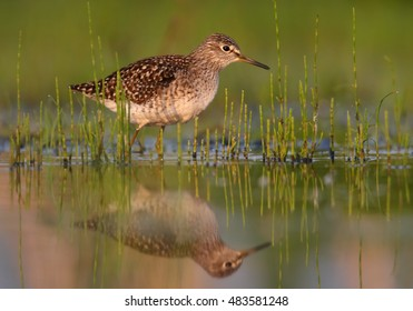 Wood Sandpiper, Tringa glareola, small wader in shallow water amog vegetation, mirroring itself in water surface . Close up photo of migrating bird. Autumn, Europe, Czech republic.