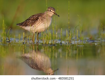 Wood Sandpiper, Tringa glareola, small wader in shallow water amog vegetation, mirroring itself in water surface, view from water level. Migrating bird. Autumn, Europe, Czech republic.