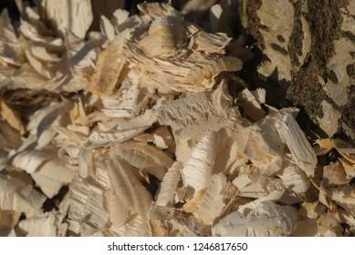 wood shavings made by beaver macro