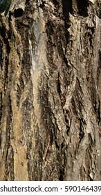 Wood skin of tree texture