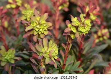 Wood spurge Purpurea - Latin name - Euphorbia amygdaloides Purpurea