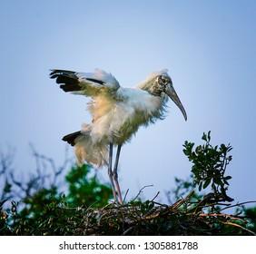 Wood Stork landing in nest in tree top in northern Florida