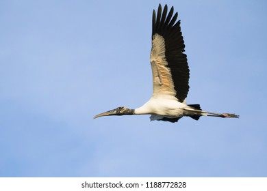 Wood Stork (Mycteria americana) flying in the Pantanal region of Brazil