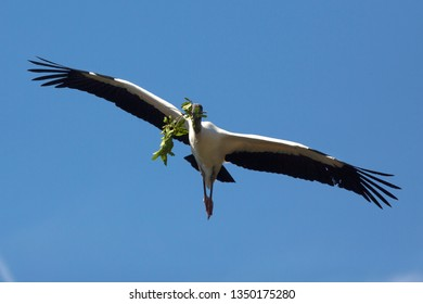 Wood stork, Mycteria americana, soaring over a swamp with nest material in its bill in St. Augustine, Florida.
