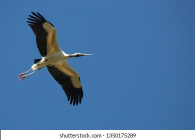 Wood stork, Mycteria americana, soaring over a swamp with wings outspread in St. Augustine, Florida.