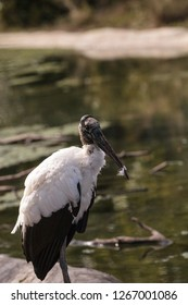 Wood stork Mycteria Americana stands in a marsh at Corkscrew Swamp Sanctuary of Naples, Florida